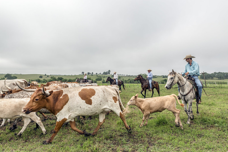 Photo of cowboys herding cattle